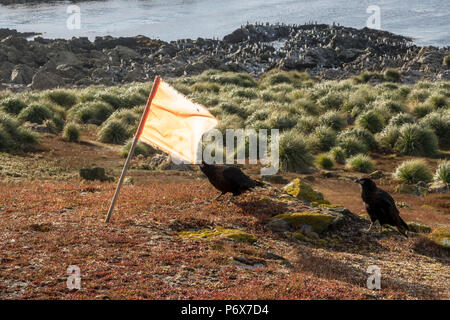 Striated caracara trying to steal flag marker at Steeple Jason Island, Falkland Islands - Stock Photo