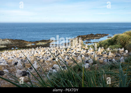 View over the black-browed albatross colony at Steeple Jason Island, Falkland Islands' - Stock Photo