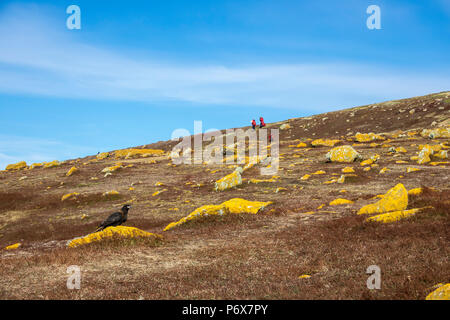 Striated caracara, with expedition cruise ship passengers in the background, Steeple Jason Island,  Falkland Islands - Stock Photo