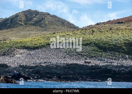 View of the massive black-browed albatross colony at Steeple Jason Island, Falkland Islands - Stock Photo