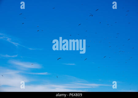 A flock of black-browed albatross flying near the colony at Steeple Jason Island, Falkland Islands - Stock Photo