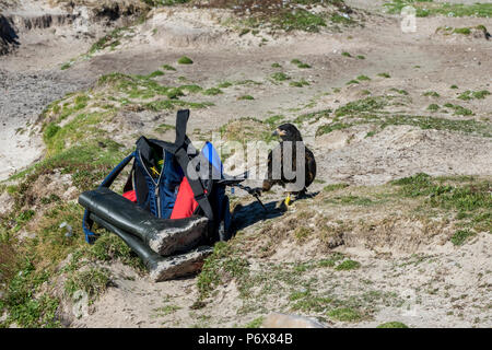 Striated caracara trying to steal a backpack, Grave Cove, West Falkland, Falkland Islands - Stock Photo