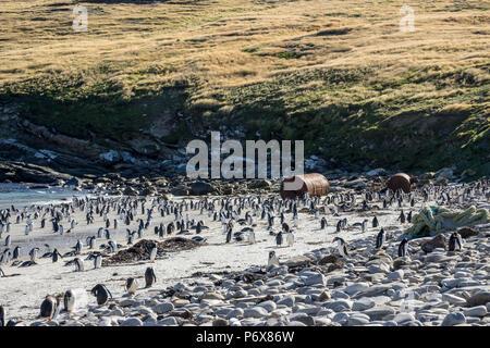 Gentoo penguin colony at Grave Cove, West Falkland, Falkland Islands - Stock Photo