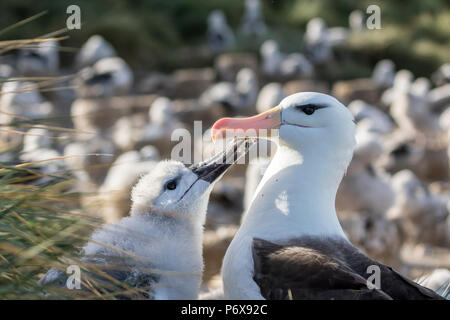 Adult black-browed albatross regurgitating food to feed large fluffy chick on nest at Steeple Jason Island, Falkland Islands - Stock Photo