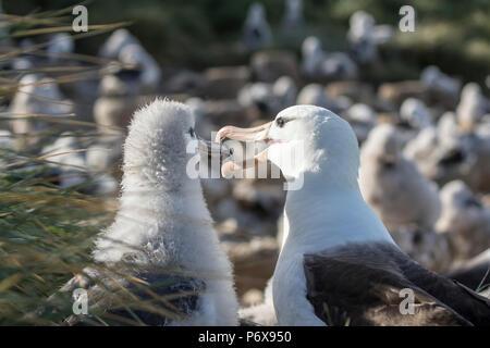 Adult black-browed albatross regurgitating food to feed large fluffy chick on nest at Steeple Jason Island, Falkland Islands - Stock Photo