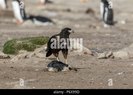 Striated carcara feeding on the remains of a gentoo pengion at the gentoo penguin colony at Grave Cove, West Falkland, Falkland Islands - Stock Photo