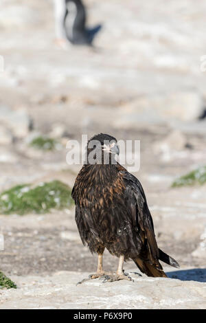 Striated caracara at the gentoo penguin colony at Grave Cove, West Falkland, Falkland Islands - Stock Photo