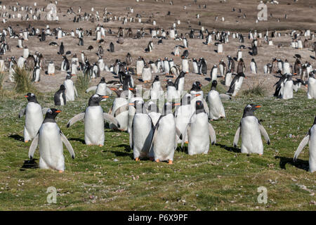 Gentoo penguin colony at Grave Cove, West Falkland, Falkland Islands - Stock Photo
