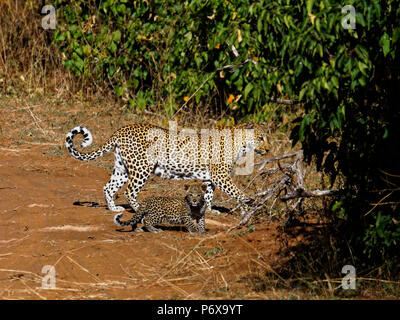 Mother leopard and baby walking across a track in Chobe National Park, Botswana - Stock Photo