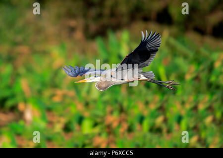 Great Blue Heron, adult flying, Wakodahatchee Wetlands, Delray Beach, Florida, USA, Ardea herodias - Stock Photo