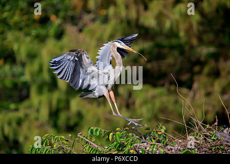 Great Blue Heron, adult flying with nesting material, Wakodahatchee Wetlands, Delray Beach, Florida, USA, Ardea herodias Stock Photo