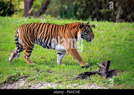 Sumatran Tiger, adult male walking, Sumatra, Asia, Panthera tigris sumatrae Stock Photo