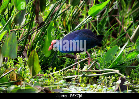 American purple gallinule, adult searching for food, Wakodahatchee Wetlands, Delray Beach, Florida, USA, Porphyrio martinicus - Stock Photo
