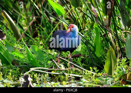 American purple gallinule, adult, Wakodahatchee Wetlands, Delray Beach, Florida, USA, Porphyrio martinicus - Stock Photo