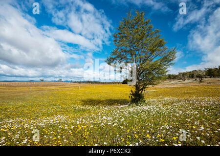 South America, Patagonia, Chile, Magallanes y la Antartica, Tierra del Fuego, bloom - Stock Photo