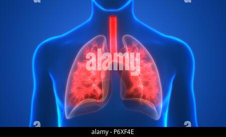 Human Respiratory System Lungs Anatomy - Stock Photo