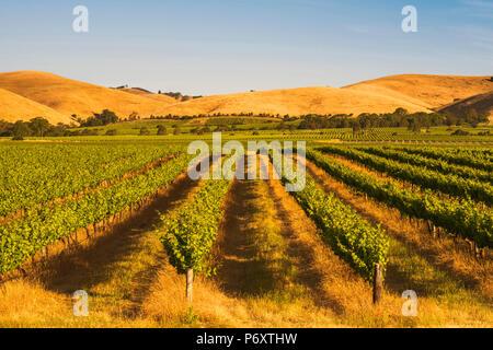 Barossa Valley, South Australia, Australia. Jacob's Creek vineyard at sunset. - Stock Photo