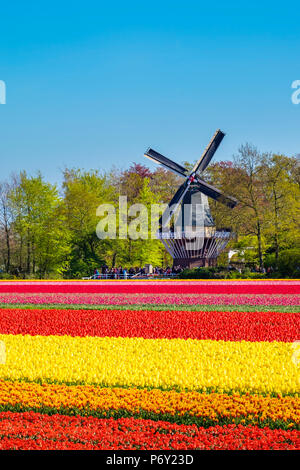 Netherlands, South Holland, Lisse. Dutch tulips flowers in a field in front of the Keukenhof windmill in early spring. - Stock Photo