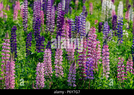 Lupins growing wild in rural Prince Edward Island, Canada. - Stock Photo