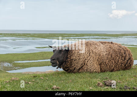 Black sheep lying on dike near the mud-flats of a tidal marsh land behind the dikes at the waddensea and the Groningen coast in the Netherlands - Stock Photo