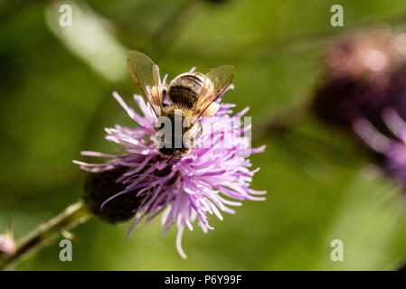 Honey Bee, creeping thistle, Black Forest, Germany - Stock Photo