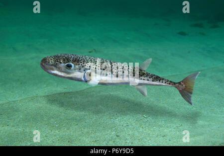 Silver-cheeked toadfish, Lagocephalus sceleratus. - Stock Photo