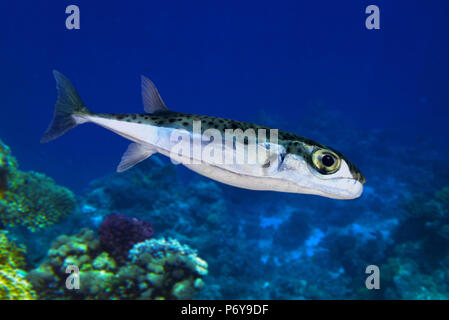 Silver-cheeked toadfish, Lagocephalus sceleratus. Young animal. - Stock Photo