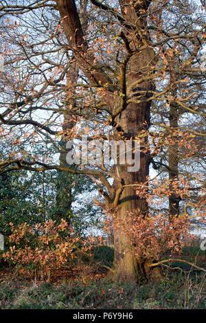 Mature oak and woodland, late Autumn early Winter. - Stock Photo