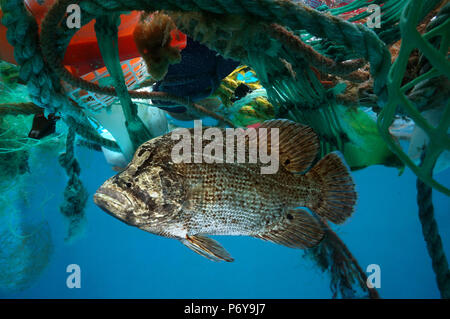 Atlantic tripletail or tripletail, Lobotes surinamensis, hidden in the middle of floating trash. - Stock Photo