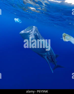 Whale shark, Rhincodon typus, feeding near plastic bags. - Stock Photo