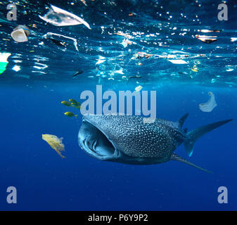 Whale shark, Rhincodon typus, feeding in the middle of plastic bags and other plastic garbage.