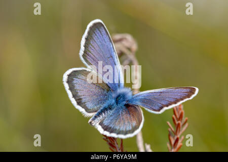 Close-up photo of Silver-studded blue butterfly with wings open and from above. shot with narrow depth of field on Canford heath nature reserve, Poole - Stock Photo