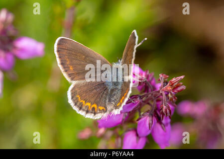 Close-up photo of female Silver-studded blue butterfly with wings open and from above. shot with narrow depth of field on Canford heath nature reserve - Stock Photo