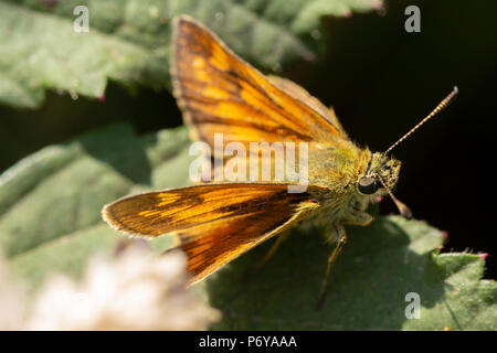 Close-up side-on photo of large Skipper butterfly resting on leaf. Most of image out of focus apart from narrow strip which includes the eye. - Stock Photo