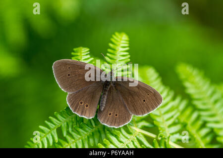 UK wildlife: ringlet butterfly perches on bracken with wings wide open - Stock Photo