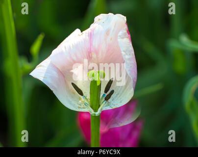 Beautiful tulips on a low key beige horizontal background , Flower tulips background. Beautiful view of purple tulips & sunlight. violet tulips, field - Stock Photo
