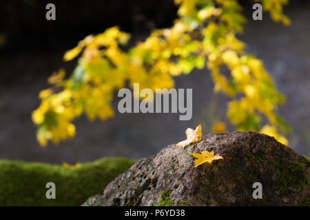 Two yellow maple leaves on gray rock in front of branch of vibrant yellow maple leaves - Stock Photo