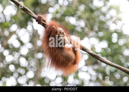 Portrait of a cute baby orangutan having fun in the greenery of a rainforest. Singapore. - Stock Photo