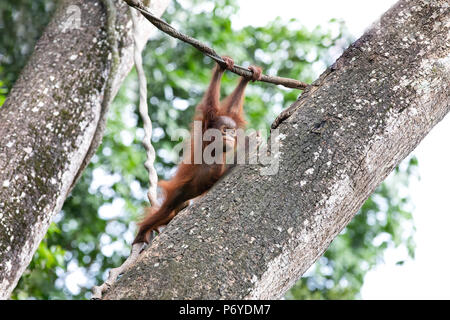 Portrait of a cute baby orangutan having fun in the greenery of a rainforest. Singapore. - Stock Photo