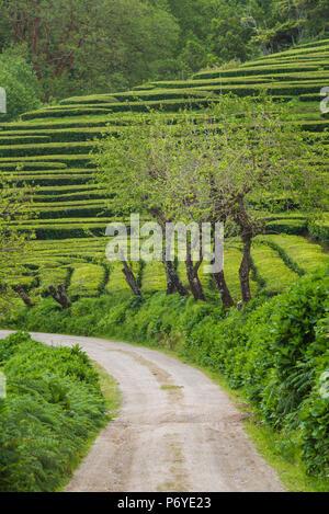 Portugal, Azores, Sao Miguel Island, Gorreana of the last tea plantation in Europe - Stock Photo
