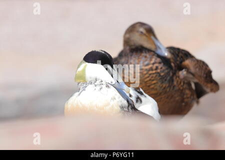 A male & female Eider Duck having a rest on a rocky shoreline in Cornwall - Stock Photo