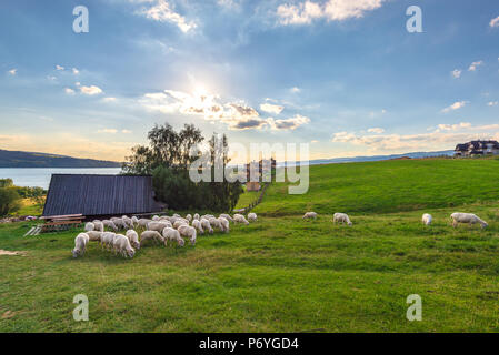 A flock of sheep grazing on the hill near a small hut. Summer landscape. Poland. - Stock Photo