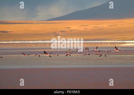 Group of flamingo flying on Laguna Colorada (Red Lagoon), the salt lake at altiplano plateau in Potosi, Bolivia - Stock Photo
