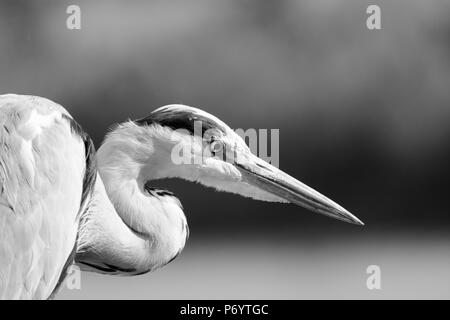 An Isolated Shot Of A White Egret Bird Stock Photo 215822266 Alamy