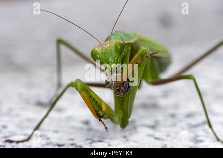Color outdoor natural wildlife close up macro photography of a single isolated green praying mantis while eating - Stock Photo