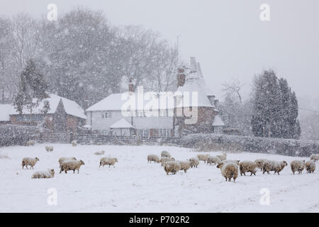 Old oast house and sheep in snow-covered field in snow storm taken from footpath, Burwash, East Sussex, England, United Kingdom, Europe - Stock Photo
