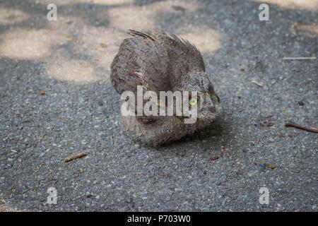 Baby of common scops owl (Otus scops) - Stock Photo