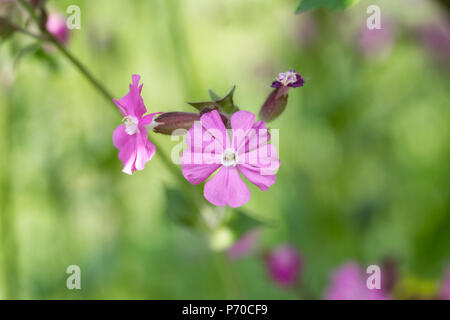 Silene dioica. Red Campion flowers in a wildflower meadow. - Stock Photo