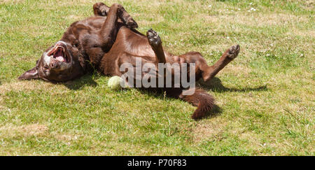 A brown/ red/ chocolate Labrador Retriever dog rolling about on his back on a lawn with his legs in the air - Stock Photo
