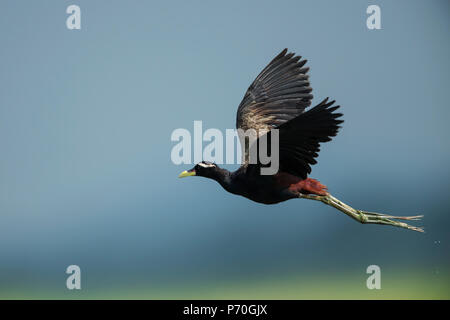 The image of  Bronze-winged jacana (Metopidius indicus) at Manglajodi, Odisha, India - Stock Photo